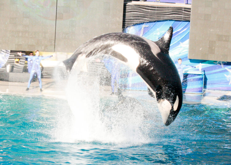 Orca show at Sea World